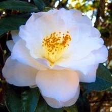 Wedding Dance' Camellia Shrub