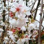 White Flowering Peach Tree