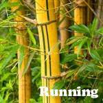 Yellow Green-Stripe bamboo plant