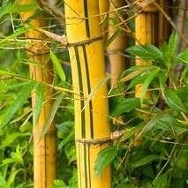 buy yellow green striped bamboo plants at best price plants
