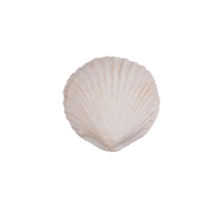 Large Gum Paste Sea Shells