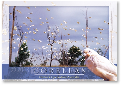 Corellas - Large Postcard  AOBL-024