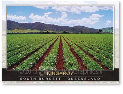 Rows of peanuts growing in the South Burnett - Standard Postcard  KIN-054