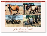 Longreach Brahman Cattle - DISCOUNTED Standard Postcard LON-203