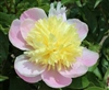 Butter Bowl peony