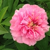 Carnation Bouquet peony