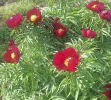 Early Scout peony