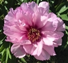 First Arrival intersectional peony