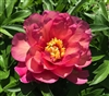 Julia Rose intersectional peony