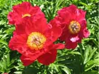 Legion of Honor peony