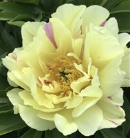 Lemon Dream intersectional peony