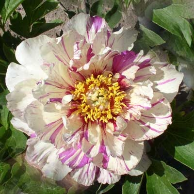 Lollipop, intersectional peony