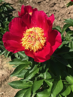 Little Corporal peony