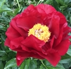 The Mackinac Grand peony