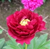 Old Faithful peony