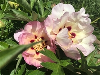 Morning Lilac intersectional peony