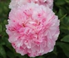 Pink Cotton Candy peony