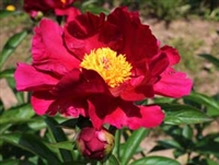 President Lincoln peony