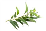 Goat Milk Laundry Soap EUCALYPTUS