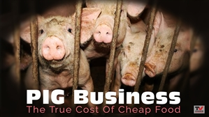 FILM: Pig Business: The Cost of Cheap Food