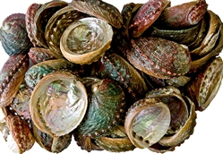 "Wholesale Abalone Shell 4""- 5"" (Pack of 100)"