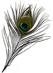Wholesale Eyed Peacock Feather 10-12""