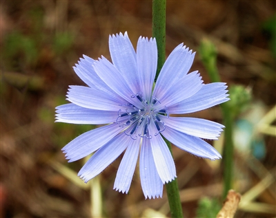 Chicory, Roasted