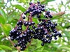 Elder Berries, Organic