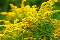 Goldenrod Herb: Bulk / Organic Goldenrod Herb, Cut & Sifted