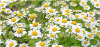 Feverfew: Cut/sifted bulk herb