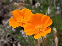 California Poppy Bulk Herb