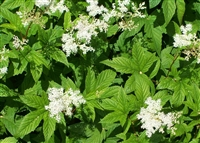 Wildcrafted Meadowsweet