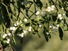 Mistletoe, Cut & Sifted