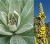 Mullein Leaf, Wildcrafted