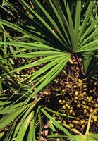 Saw Palmetto, Cut & Sifted, Organic
