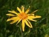 Arnica Flowers, Wildcrafted