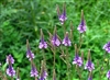 Blue Vervain, Cut & Sifted, Wildcrafted