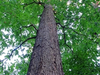 White Oak Bark, Organic