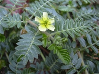 Organic Tribulus Fruit Powder