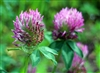 Red Clover Blossoms, Organic