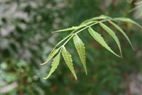 Neem Leaves, Organic