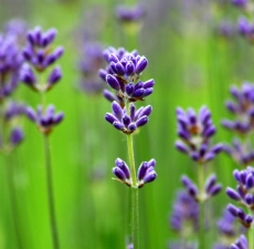 Lavender Essential Oil (Organic): Amber Bottle / Essential Oil: 10 mL