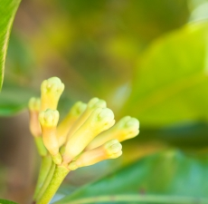 Clove Bud Essential Oil: Amber Bottle / Essential Oil: 10 m
