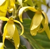 Ylang Ylang Essential Oil: Amber Bottle / Essential Oil: 10 mL