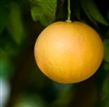 Pink Grapefruit Essential Oil: Amber Bottle / Essential Oil: 10 mL