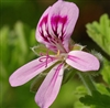 Geranium Essential Oil: Amber Bottle / Essential Oil: 10 mL