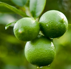 Lime (Key) Essential Oil: Amber Bottle / Essential Oil: 10 mL