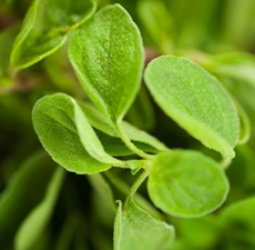 Oregano Essential Oil: Amber Bottle / Essential Oil: 10 mL