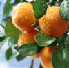 Mandarin Orange (Wildcrafted) Essential Oil: Amber Bottle / Essential Oil: 10 mL