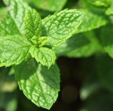 Spearmint Essential Oil (Organic): Amber Bottle / Essential Oil: 10 mL